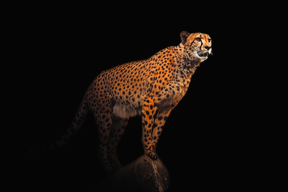 Wallpaper, Background, Cheetah, Animal, Exotic, Wild