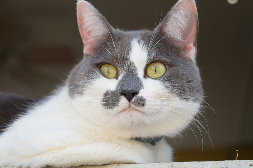 Animal, Cat, Portrait, Mammal, Pet, Fur, Eye, Domestic