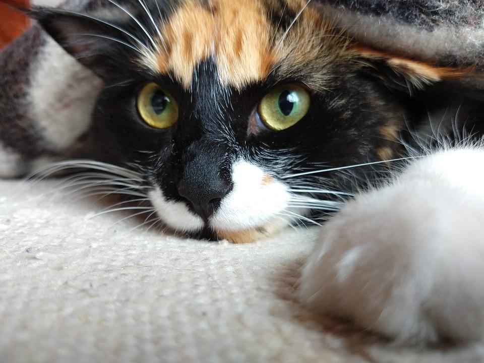 Cats, Pet, Animal, Kitten, Adorable, Eyes, Cute, Face