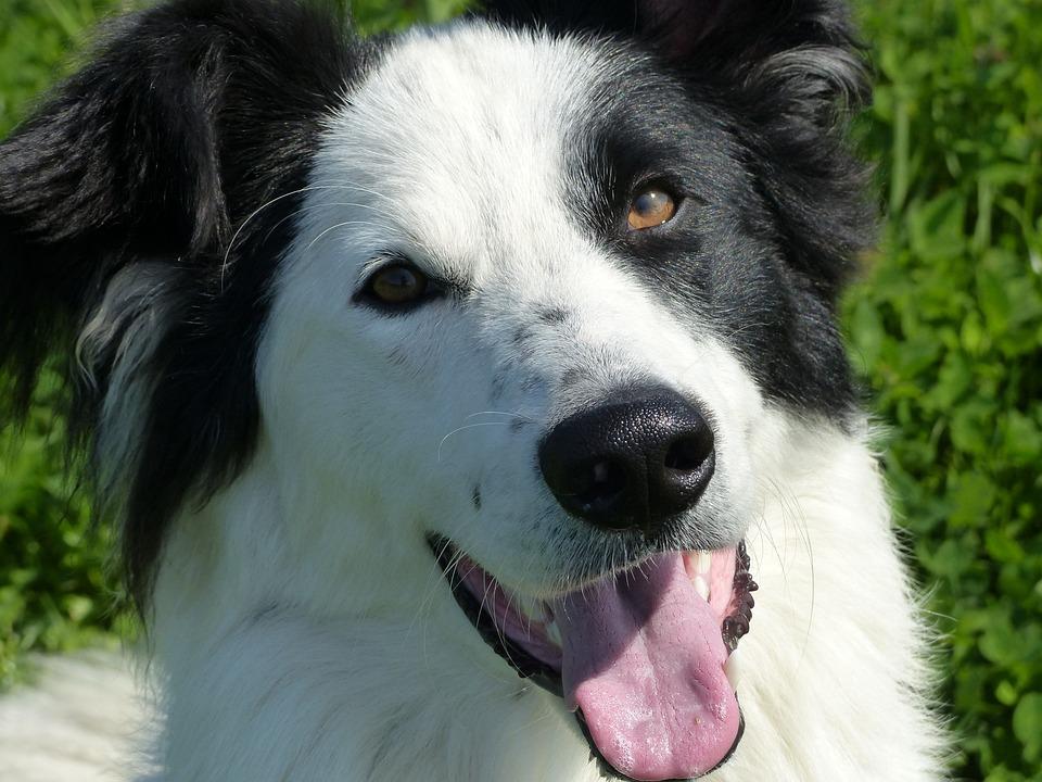 Crossing, Dog, Animal, Close Up, Face, Nice, Cute, Eyes