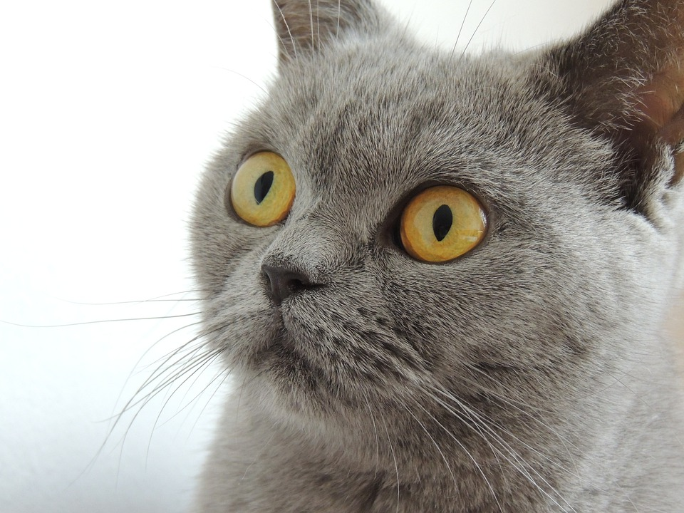 Cat, Eyes, View, Face, Animal, Home, British Shorthair