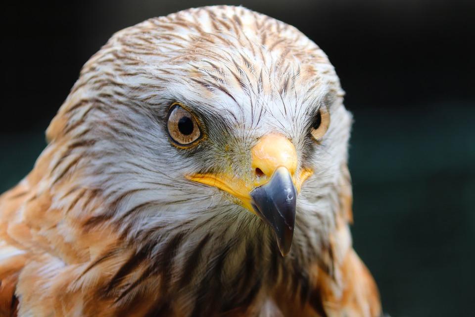 Buzzard, Harris Hawk, Bird, Animal, Raptor, Falconry