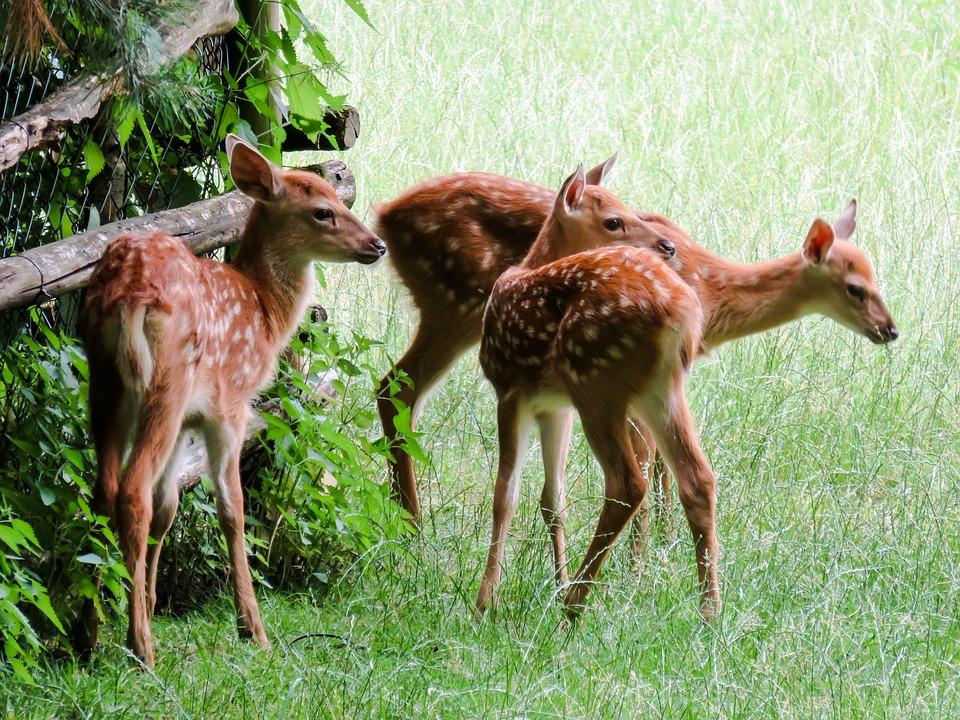 Animal, Fallow Deer, Kitz, Red Deer, Roe Deer, Scheu