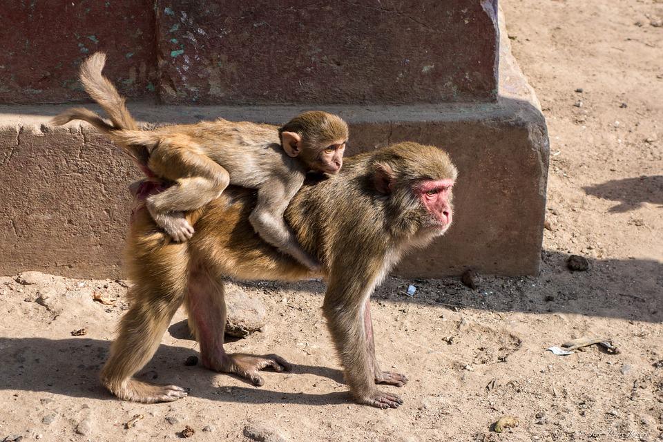 Monkey, Mammal, Animal, Family, Wild