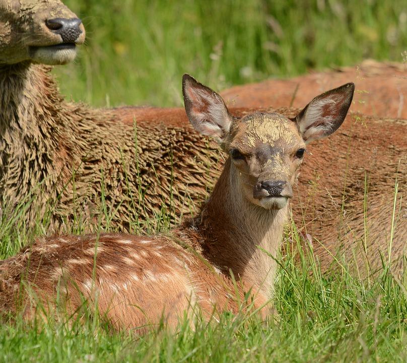 Deer, Young, Fawn, Animal, Nature, Mammal, Grass
