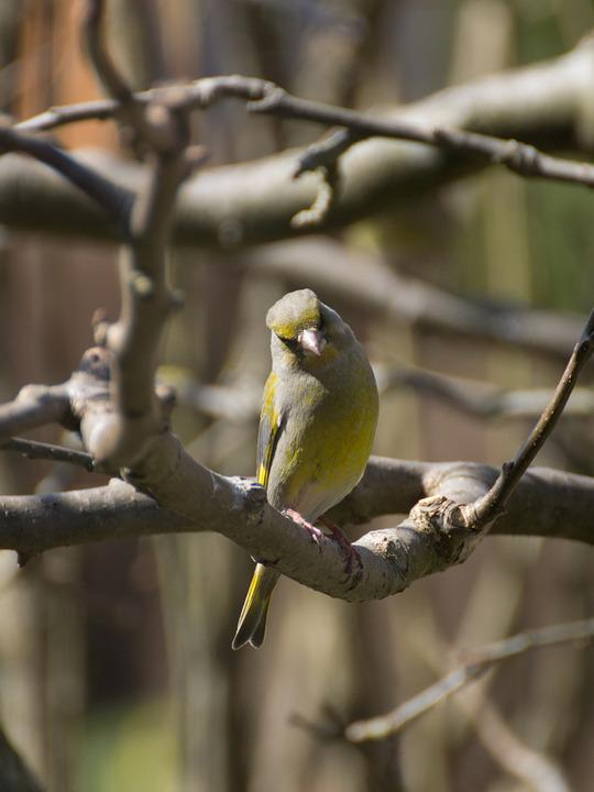 Greenfinch, Bird, Tree, Animal, Songbird, Feather