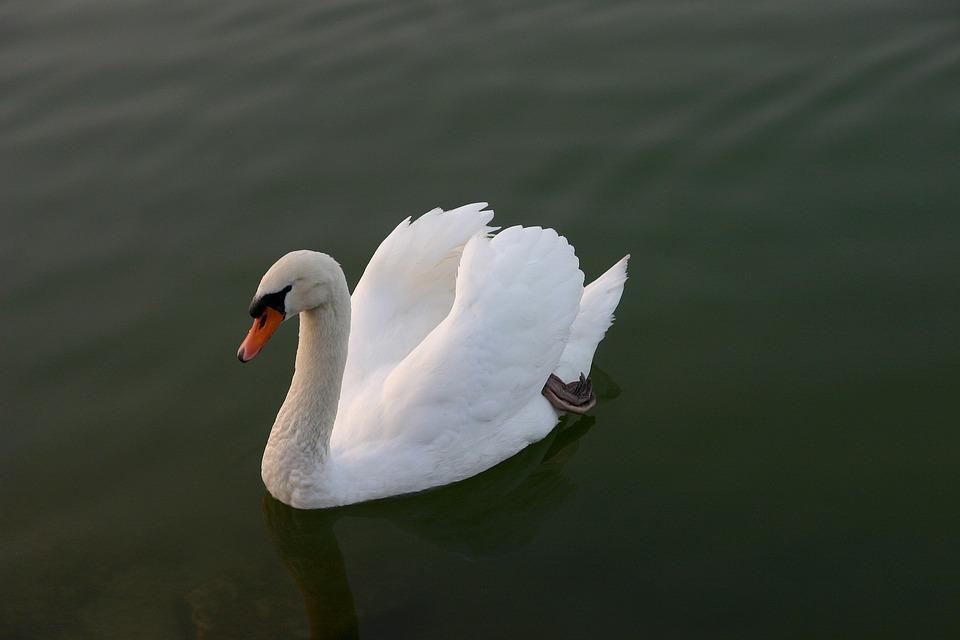 Swan, Water, Bird, Animal, Lake, White, Feather, Waters