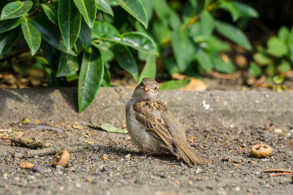 Sparrow, Bird, Nature, Feather, Animal, Plumage, Birds