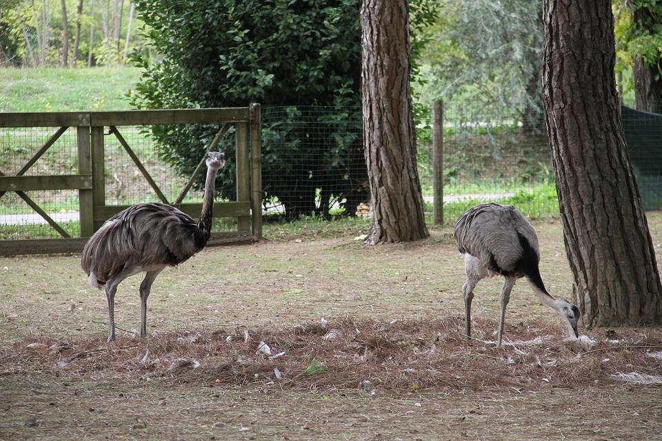 Rhea, Zoo, Animal, Birds, Emu, Neck, Feather, Wildlife