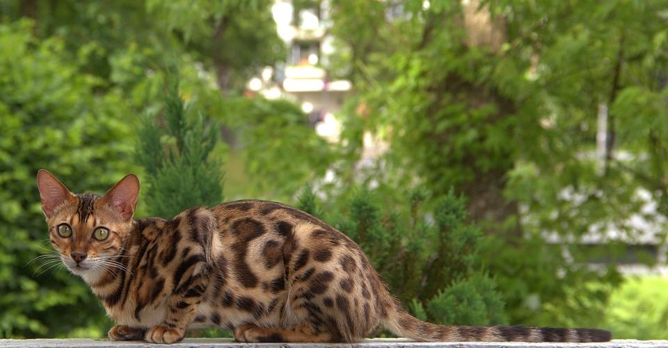 Cat, Bengal, Pet, Feline, Animal, Fur, Kitty, Domestic