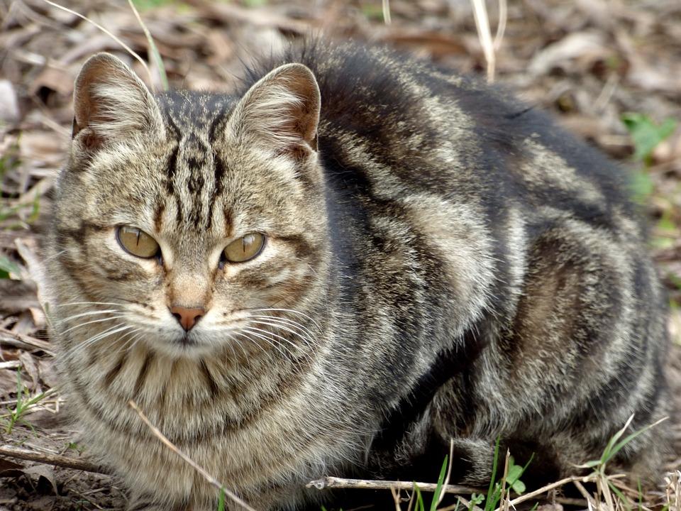 Cat, Feline, Pet, Animal, Brindle