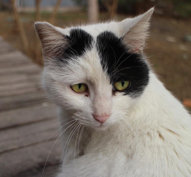Cat, Face, Eyes, Feline, Animal, Pet, Mammal