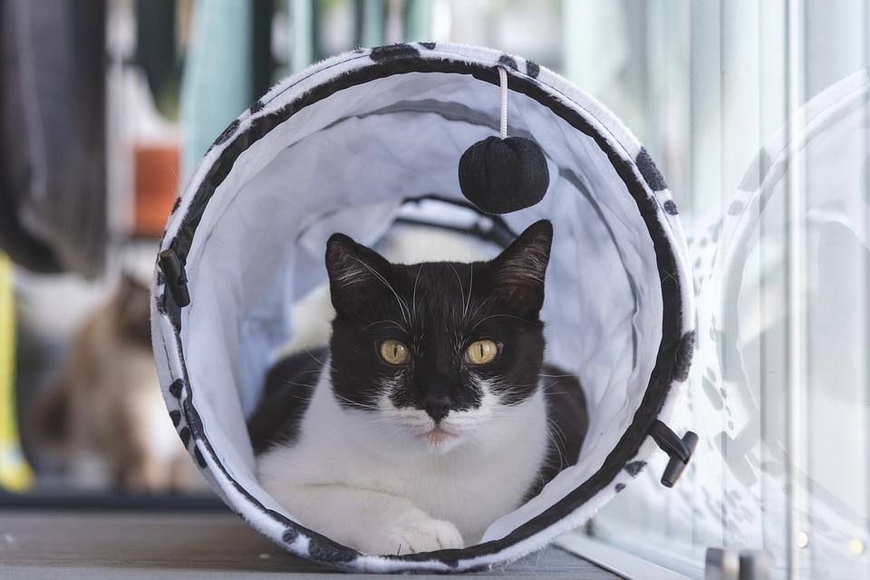 Cat, Tuxedo Cat, Feline, Pet, Animal, Cute, Portrait
