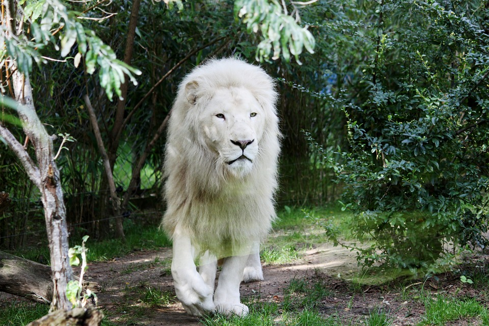 Lion, White Lion, Feline, Animal