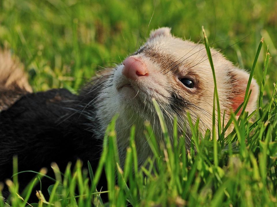 Ferret, Animal, Grass, Close Up