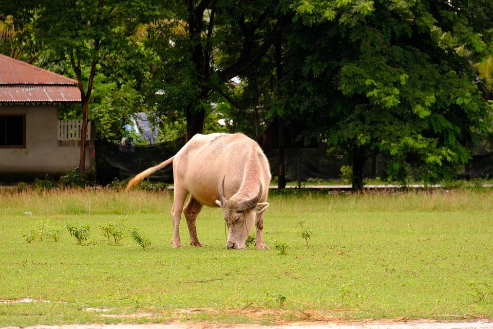 Animal, Cow, Farm, Cattle, Grass, Field, Pasture