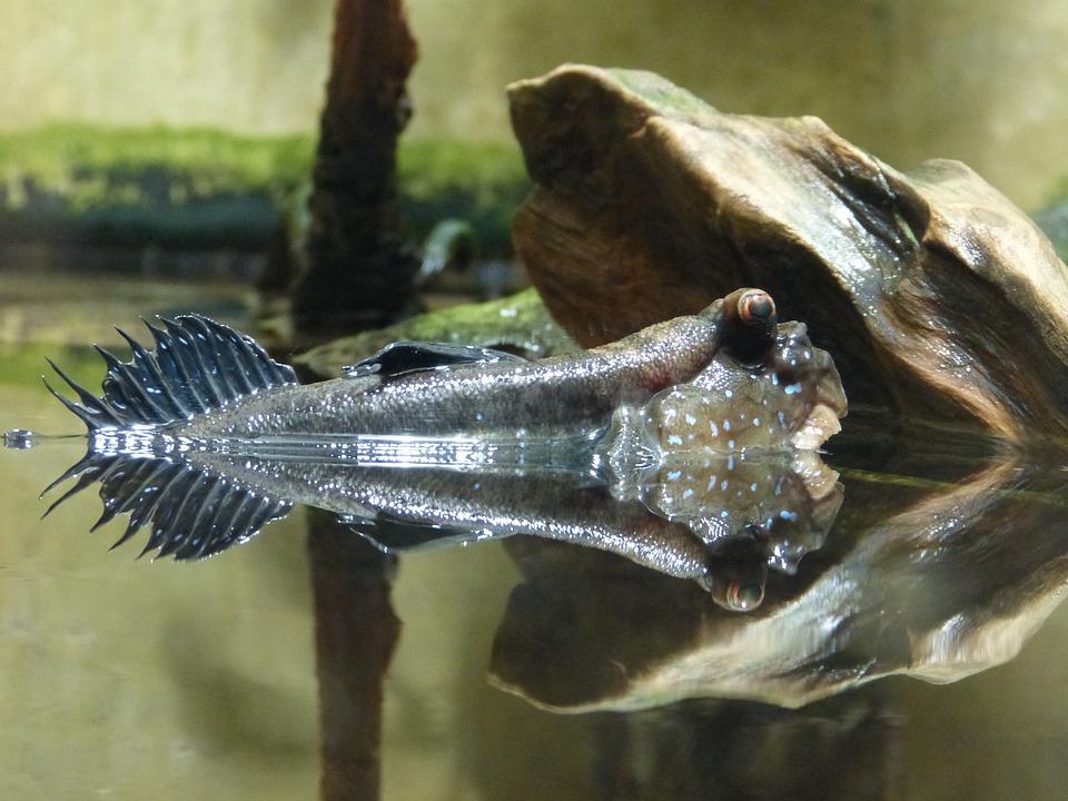 Mudskipper, Fish, Animal, Water, Nature