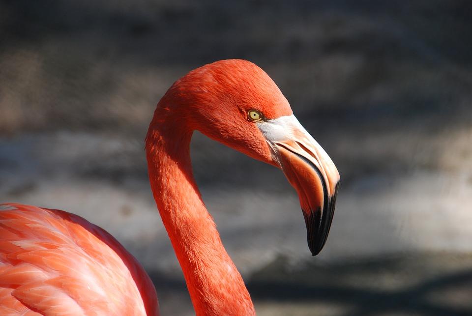Flamingo, Bird, Animal, Bill, Red, Pink