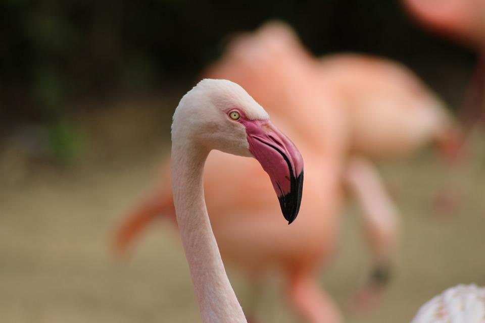Flamingo, Animal, Wildlife Photography