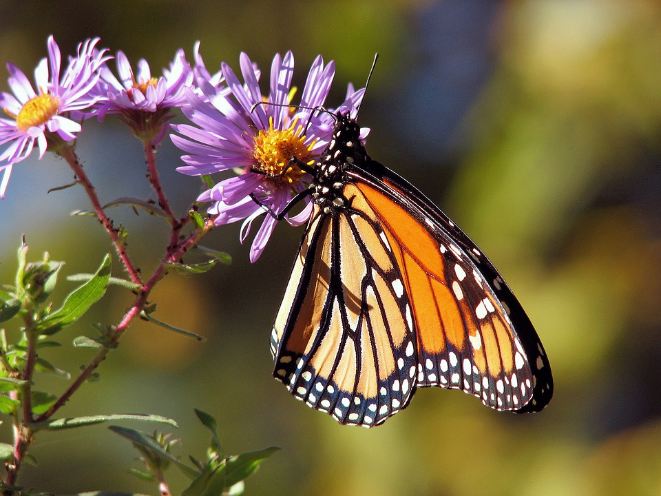 Garden, Flowers, Butterfly, Monarch, Insect, Animal