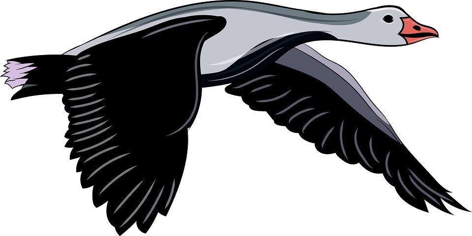 Goose, Flying Bird, Duck, Flying, Wildlife, Animal