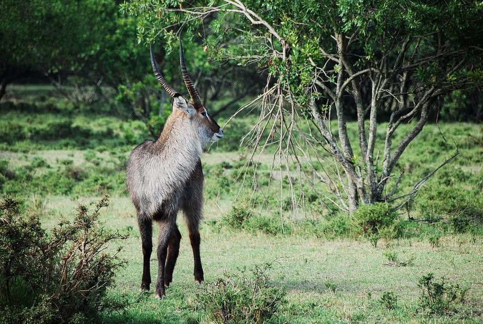 Africa, Animal, Antelope, Deer, Environment, Forest
