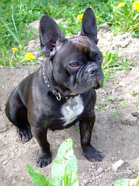 French Bulldog, Dog, Doggy, Adorable, Cute, Animal