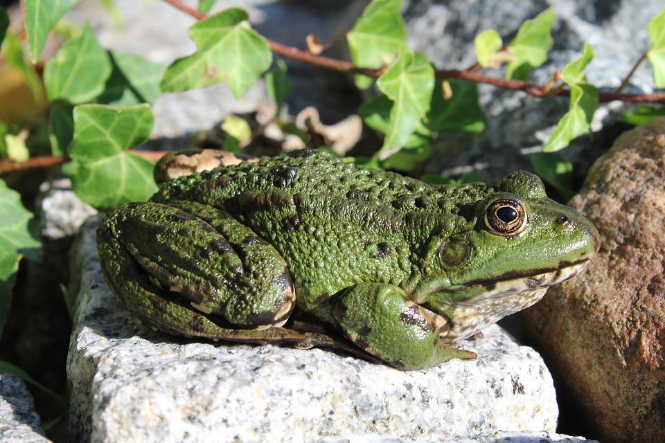 Frog, Green, Animal, Amphibian, Green Frog, Pond, Close