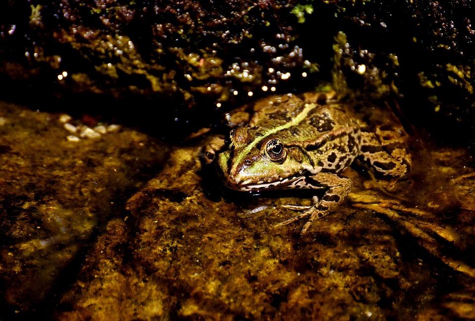 Frog, Pond, Animal, Water Frog, Frog Pond, High, Toad
