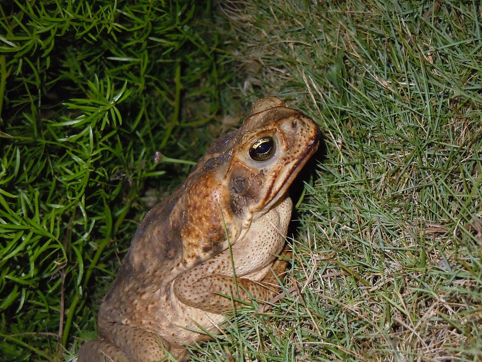 Toad, Frog, Road Toad, Bermuda, Animal, Amphibian