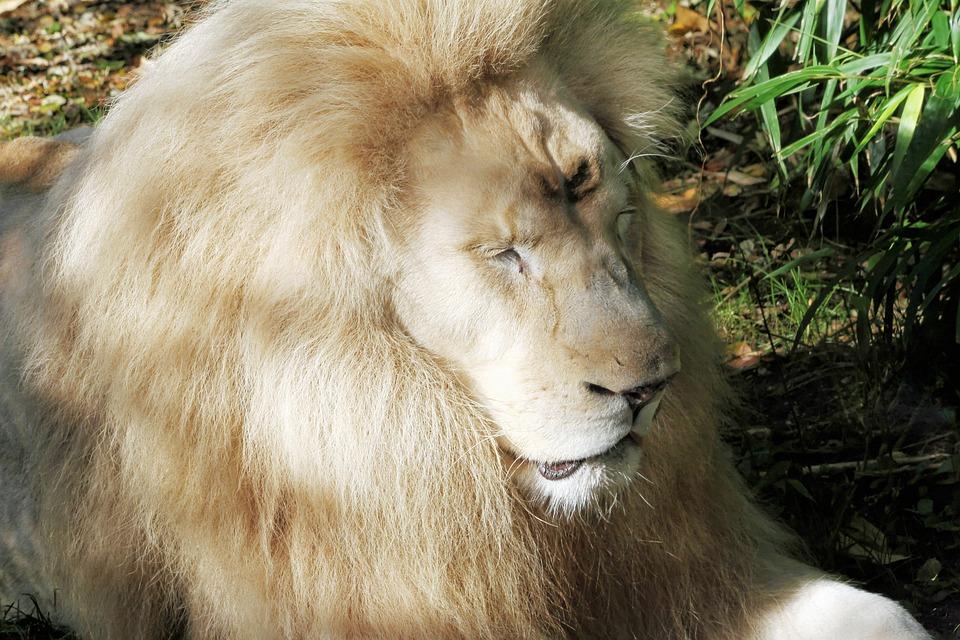 Lion, White, Animal, Fauna, Fur