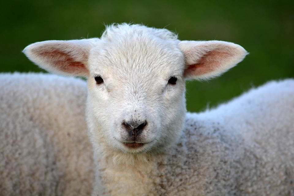 Lamb, Livestock, Animal, Mammal, Farm Animals, Furry