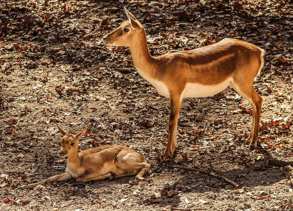 Gazelle Impala, Mother, Antelope, Africa, Calf, Animal
