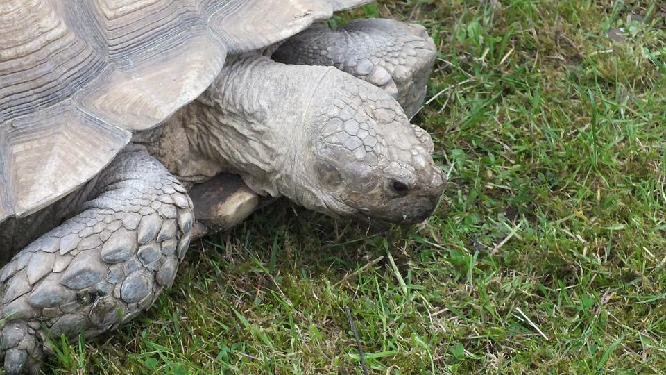 Giant Tortoise, Tortoise, Animal