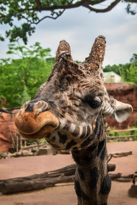 Animal, Nature, Wild, Zoo, Hanover, Giraffe