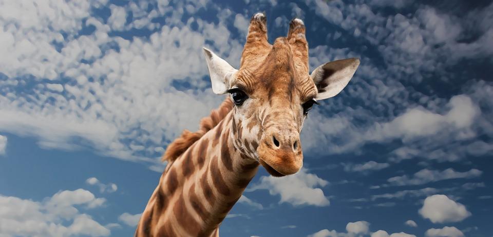 Giraffe, Animal, Facial Expression, Mimic, Neck, Mammal