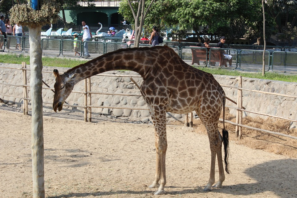 Giraffe, Animal, Zoo