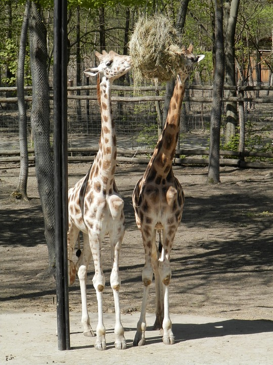 Giraffe, Animal, Zoo, Meal