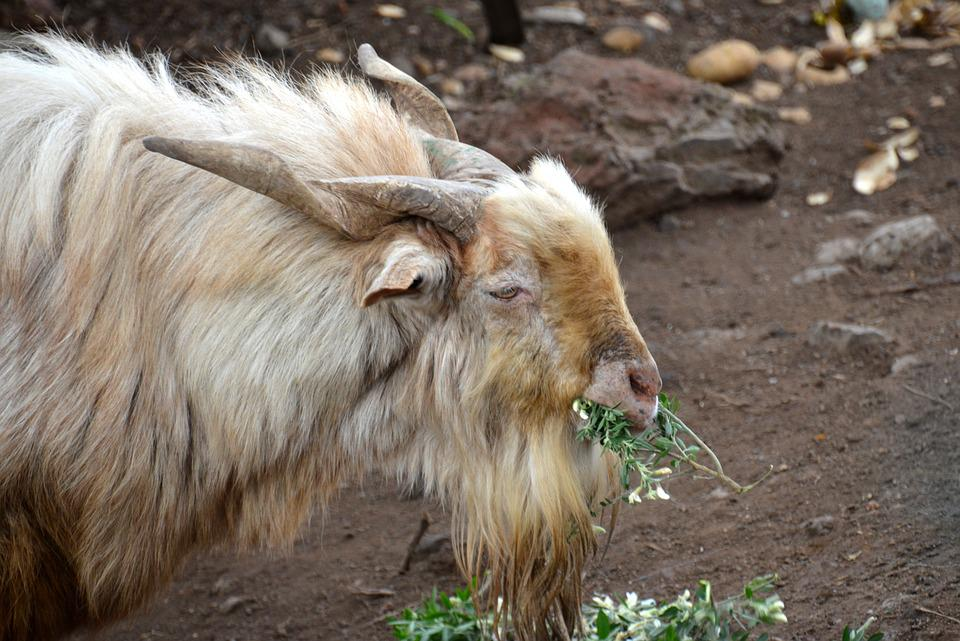 Goat, Bock, Billy Goat, Horns, Farm, Animal, Goatee