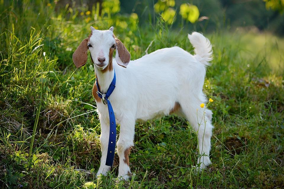 Goat, Animal, Young Animal, Wildlife Photography