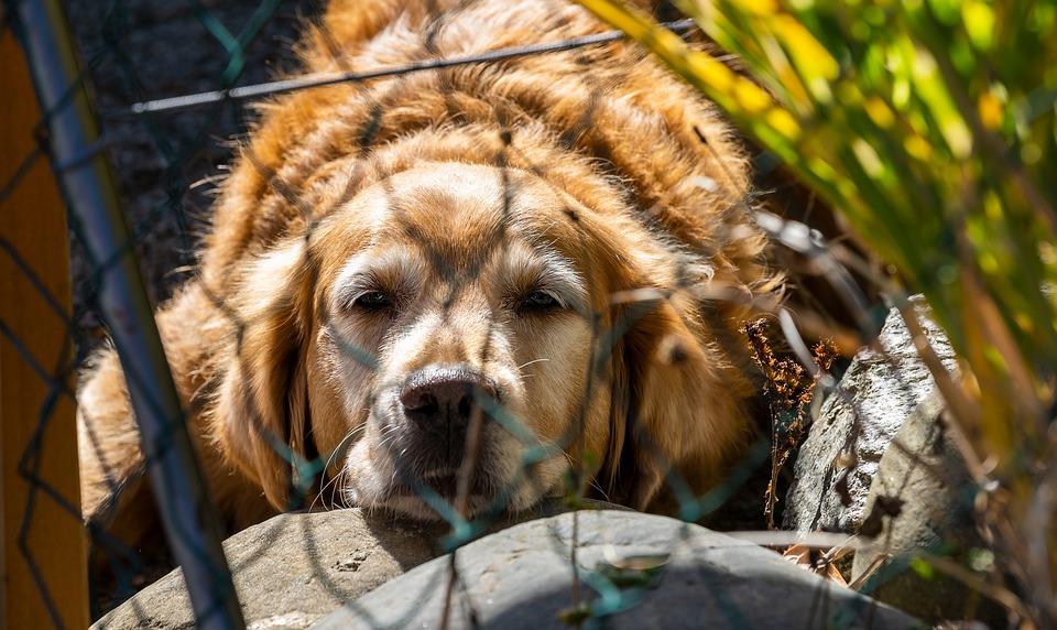 Animal, Dog, Golden Retriever, Pet, Portrait