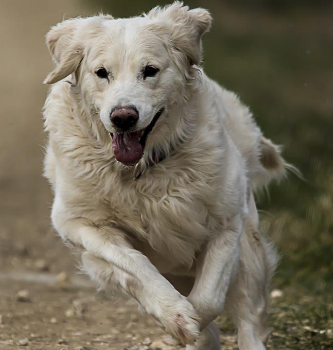 Golden Retriever, White, Dog, Animal, Golden