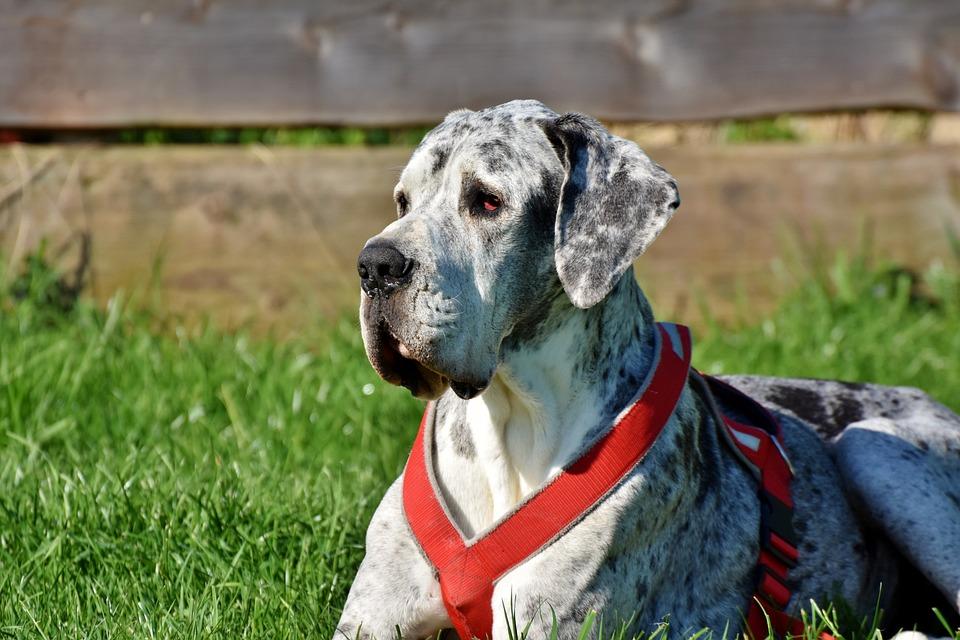 Great Dane, Dog, Lying, Animal, Pet, Good Aiderbichl