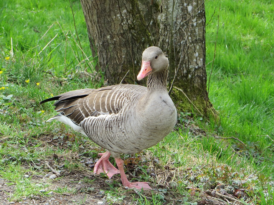 Greylag Goose, Goose, Poultry, Water Bird, Animal