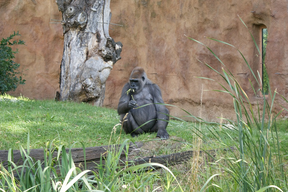 Gorilla, Monkey, Grass, Animal, Zoo