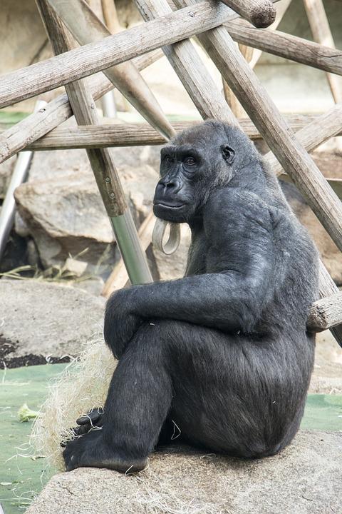 Gorilla, Sitting, Animal, Nature, Zoo