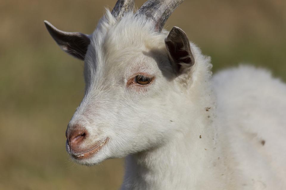 Goat, Kid, Animal, Grass, Dry, Autumn