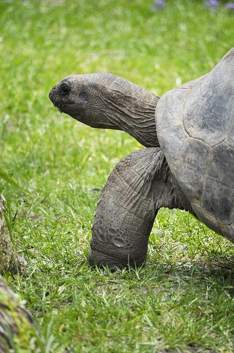 Tortoise, Animal, Reptile, Green Grass, Wildlife
