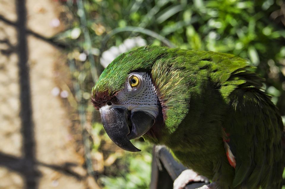 Parrot, Bird, Animal, Macaw, Birds, Green Macaw, Beak