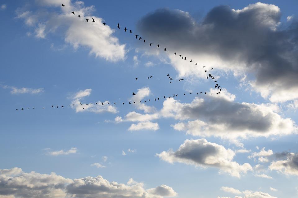 Geese, Goose, Bird, Animal, Birds, Group, Poultry